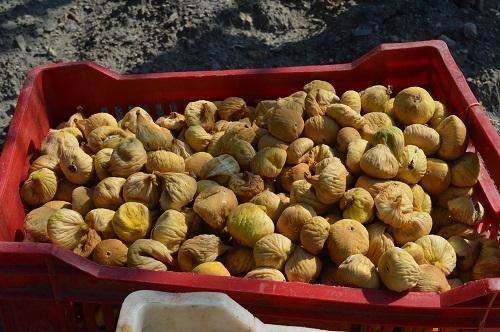 Yabancı öğrenciler ilk kez incir hasadı yaptı 11