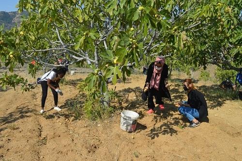 Yabancı öğrenciler ilk kez incir hasadı yaptı 12