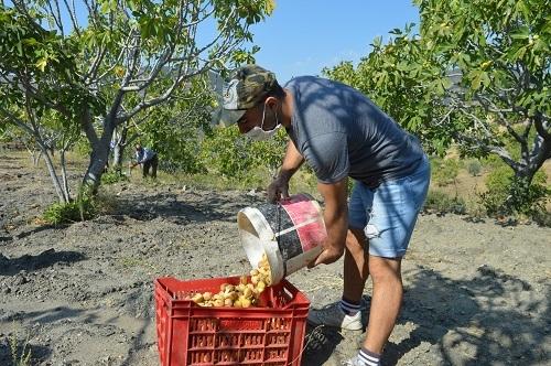 Yabancı öğrenciler ilk kez incir hasadı yaptı 13