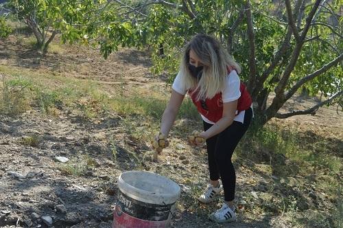 Yabancı öğrenciler ilk kez incir hasadı yaptı 2