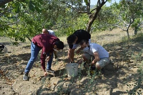 Yabancı öğrenciler ilk kez incir hasadı yaptı 6