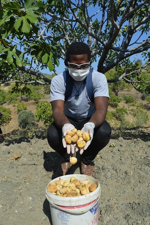 Yabancı öğrenciler ilk kez incir hasadı yaptı 7