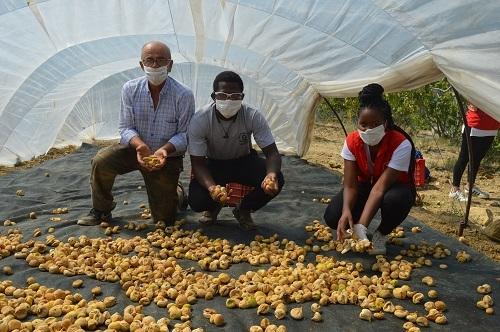 Yabancı öğrenciler ilk kez incir hasadı yaptı 9