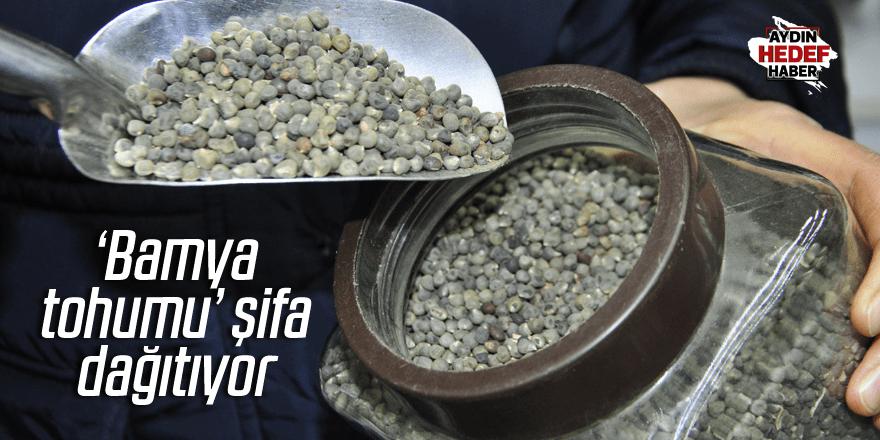 'Bamya tohumu' şifa dağıtıyor