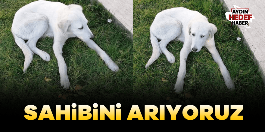 Aydın'da kayıp köpeğin sahibi aranıyor