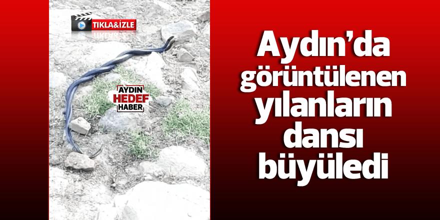 Aydın'da görüntülenen yılanların dansı büyüledi