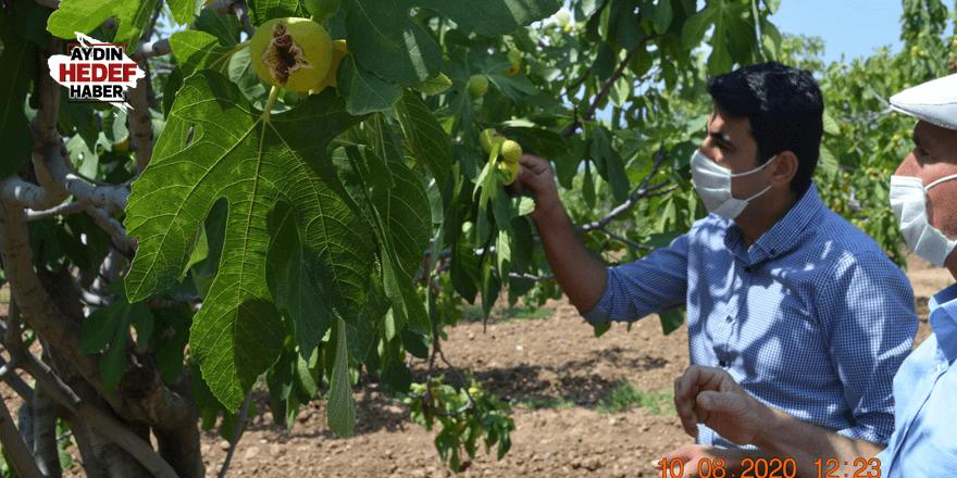 Kaymakam incir hasadına katıldı