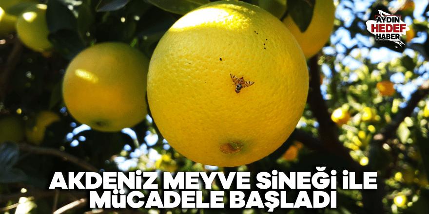 Akdeniz Meyve Sineği ile mücadele başladı