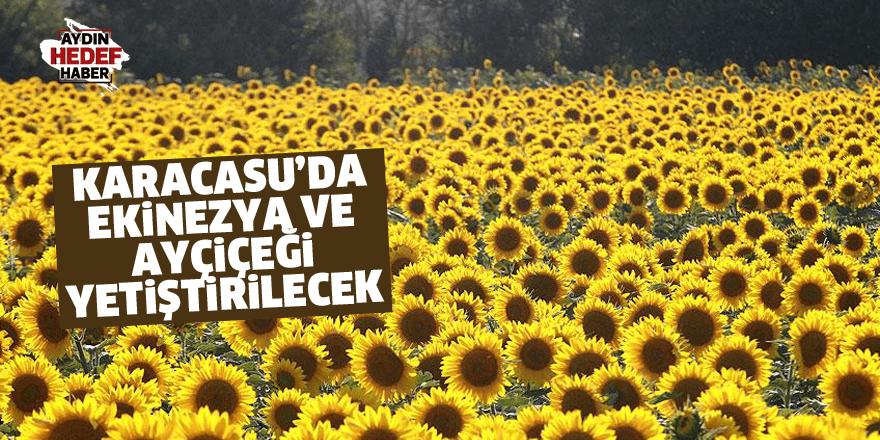Karacasu'da ekinezya ve ayçiçeği yetiştirilecek