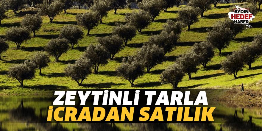 Aydın'da satılık zeytinli tarla