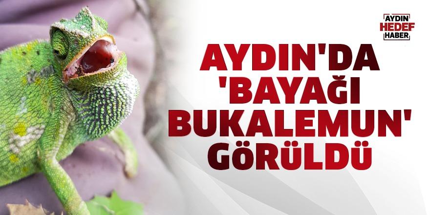 Aydın'da 'Bayağı Bukalemun' görüldü