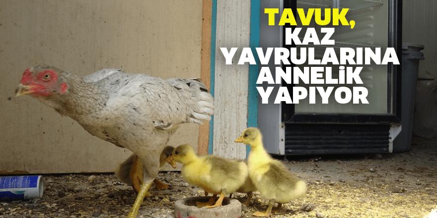 Tavuk, kaz yavrularına annelik yapıyor