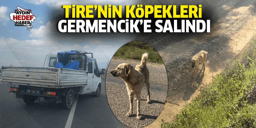 Tire'nin köpekleri Germencik'e salındı