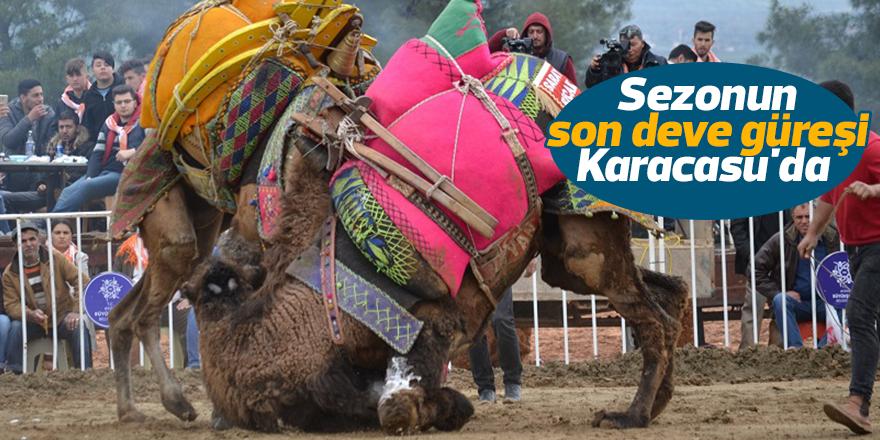 Sezonun son deve güreşi Karacasu'da düzenlenecek