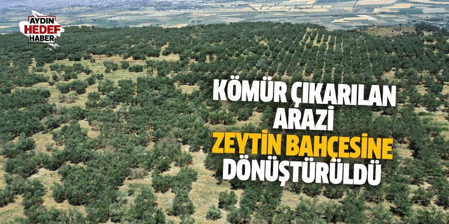 Kömür çıkarılan arazi zeytin bahçesine dönüştürüldü