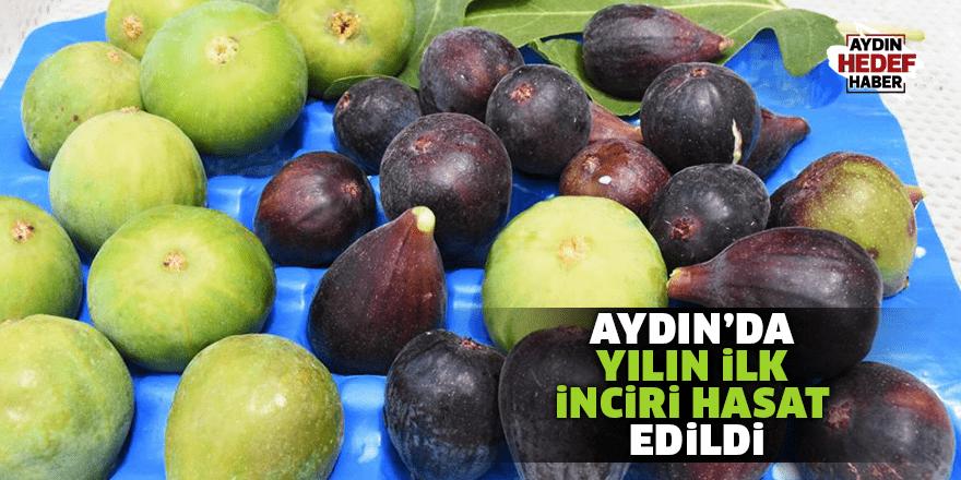 Aydın'da yılın ilk inciri hasat edildi