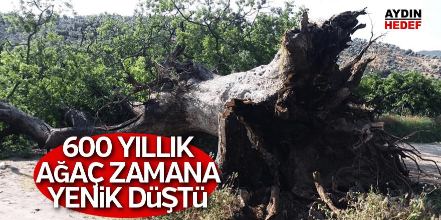 Anıt ağaç devrildi