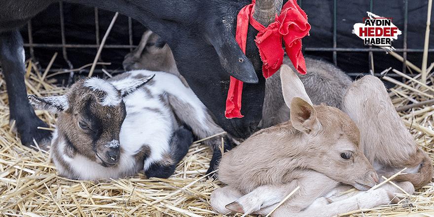 Annesinin reddettiği alageyiğe keçiler sahip çıktı