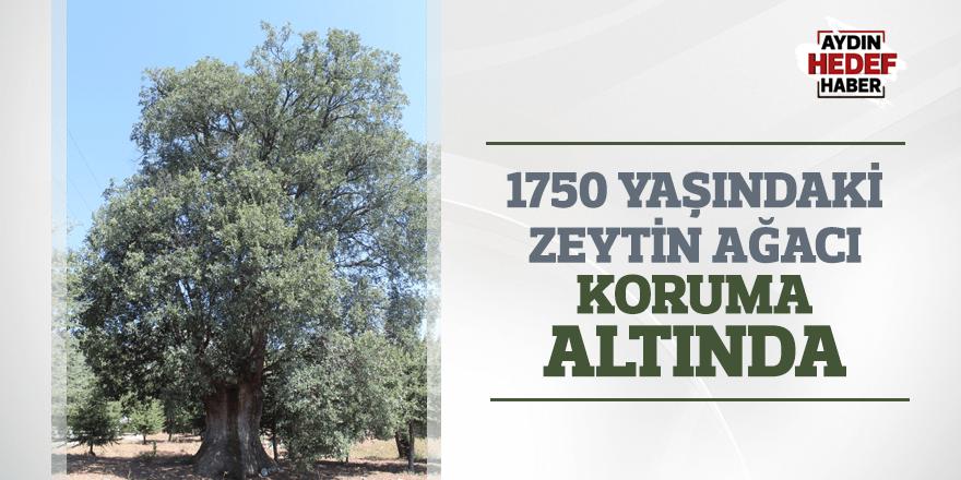 1750 yaşındaki zeytin ağacı koruma altında