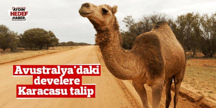 Avustralya'daki develere Karacasu'daki İYİ'ler de talip
